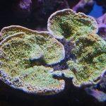 2020年4月22日 サンゴ 極美SPS~LPS,ソフトコーラルまで、トータル300個体以上の大量入荷です♪
